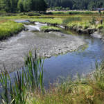 Hood Canal Summer Chum, Eastern Strait & Hood Canal Summer Chum Recovery