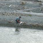 Salmon Restoration in Washington State, Restoration Works!